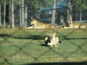Lion Country Safari_05
